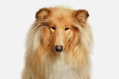 Collie On White Poster