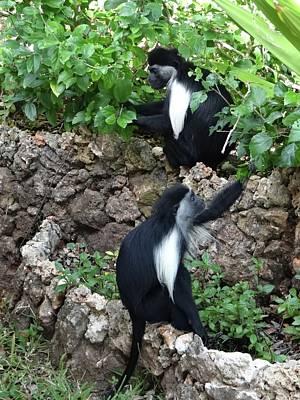 Colobus Monkey Eating Leaves For Breakfast Poster