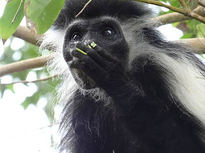 Colobus Monkey Eating Leaves In A Tree 2 Poster