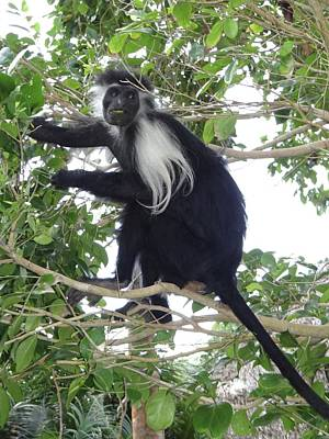 Colobus Monkey Eating Leaves In A Tree Poster