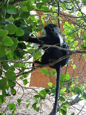 Colobus Monkey Eating Leaves In A Tree - Full Body Poster