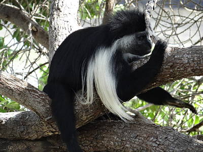 Colobus Monkey Resting In A Tree Poster