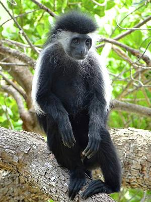 Colobus Monkey Sitting In A Tree 2 Poster