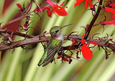 Color Coordinated Hummer Poster by Debbie Oppermann