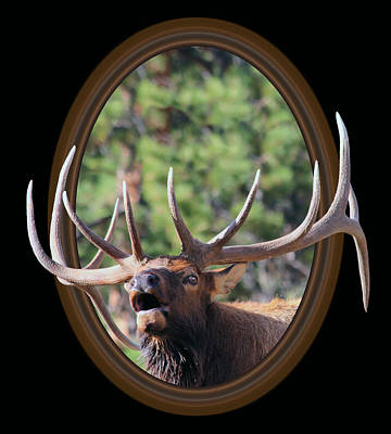 Colorado Bull Elk Poster by Shane Bechler