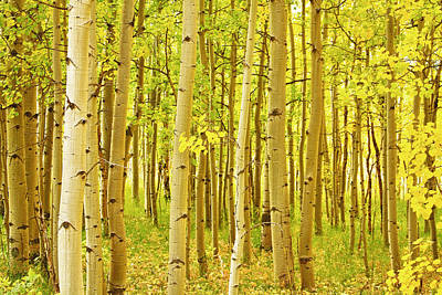 Colorado Fall Foliage Aspen Landscape Poster