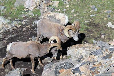 Colorado Rams Poster