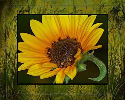 Colorado Sunflower Poster