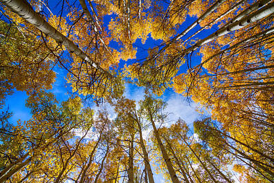 Colorful Aspen Forest Canopy  Poster