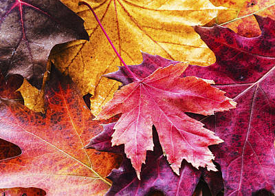 Colorful Autumn Leaves Closeup Poster by Vishwanath Bhat