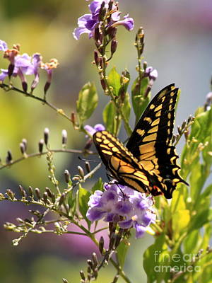 Colorful Butterfly Poster by Carol Groenen