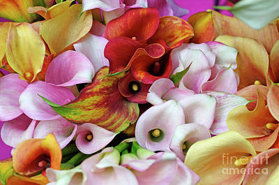 Colorful Calla Lilies Poster