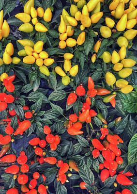 Colorful Capsicum Plants Poster by Tom Gowanlock