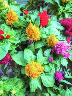 Colorful Celosia Flowers Poster by Tom Gowanlock