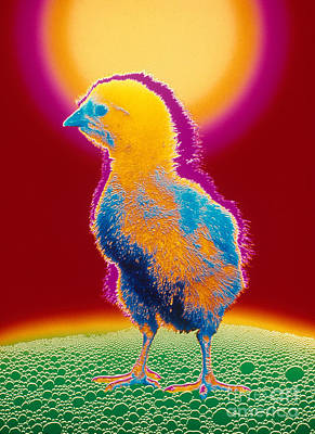 Colorful Chick Poster by Bill Longcore