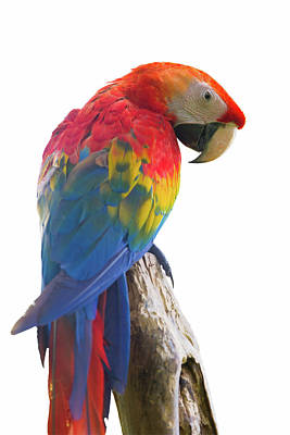 Colorful Parrot Isolated In White Background Poster