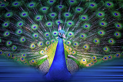 Colorful Peacock Display Poster