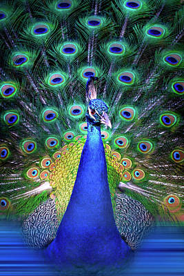 Colorful Peacock Poster