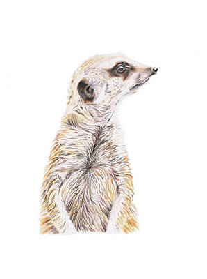 Poster featuring the drawing Colour Meerkat by Elizabeth Lock