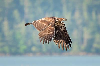 Columbia Gorge Eagle Poster