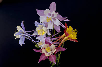 Poster featuring the photograph Columbine Medley by Gary Lengyel