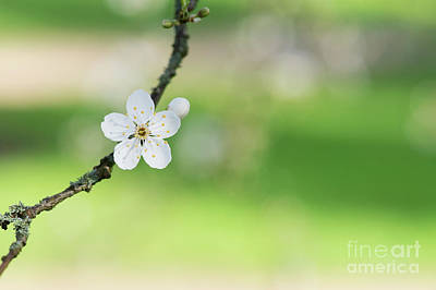 Cherry Plum Blossom Poster by Tim Gainey
