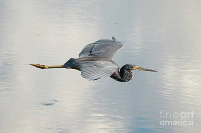 Come Soar With Me Tricolored Heron Poster