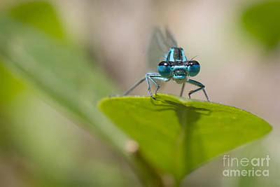 Common Blue Damselfly Poster by Jivko Nakev