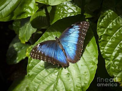 Common Blue Morpho Butterfly Poster