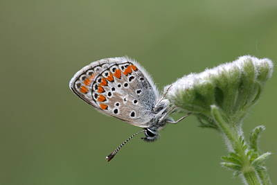 Common Blue Sitting On A Flower In The Pirin Mountains In Bulgaria Poster