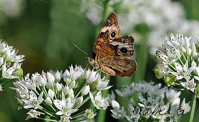 Common Buckeye Butterfly Poster by Diane Giurco