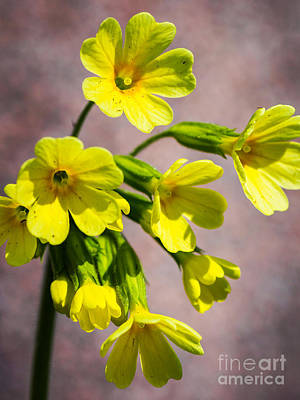 Common Cowslip In The Morning Sunlight Poster