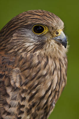 Common Kestrel Falco Tinnunculus Poster by Gabor Pozsgai