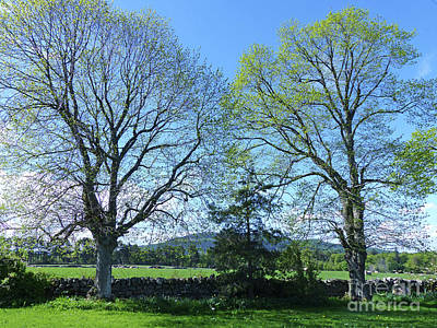 Common Lime Trees In Spring Poster by Phil Banks