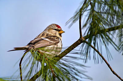 Poster featuring the photograph Common Redpoll Bird by Christina Rollo