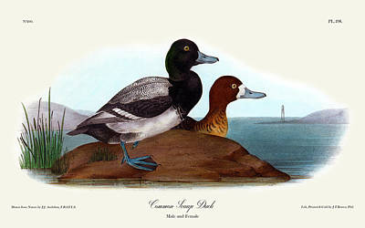 Common Scaup Duck Audubon Birds Of America 1st Edition 1840 Royal Octavo Plate 498 Poster by Orchard Arts