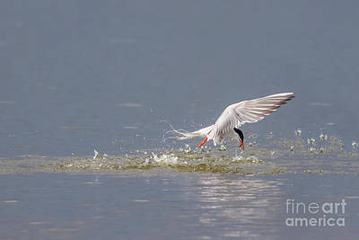 Common Tern - Sterna Hirundo - Emerging From The Water With A Fish Poster