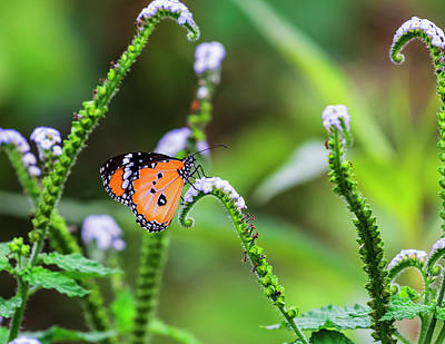 Common Tiger Butterfly And Flowers Poster by Vishwanath Bhat