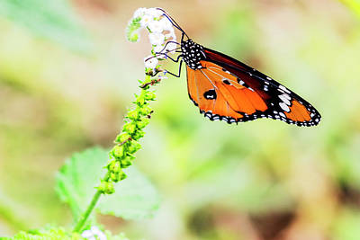 Common Tiger Butterfly Poster by Vishwanath Bhat