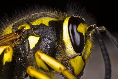 Common Wasp Vespula Vulgaris Close-up Poster by Gabor Pozsgai