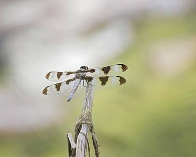 Common Whitetail Skimmer Poster