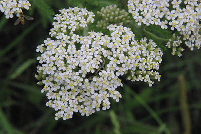 Poster featuring the photograph Common Yarrow Closeup by Robyn Stacey