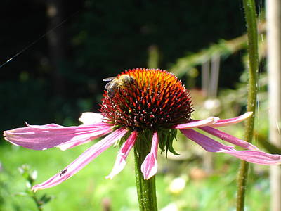 Cone Flower And Honey Bee Poster