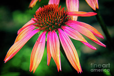 Cone Flower Beauty Poster by Kasia Bitner