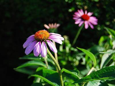 Cone Flower Poster by Beverly Cazzell