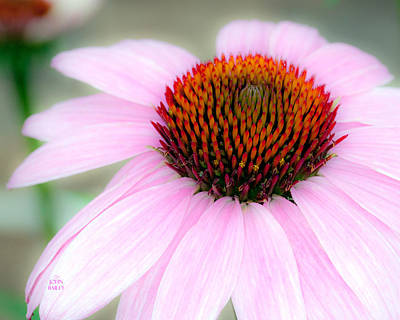 Cone Flower Poster by John Bailey