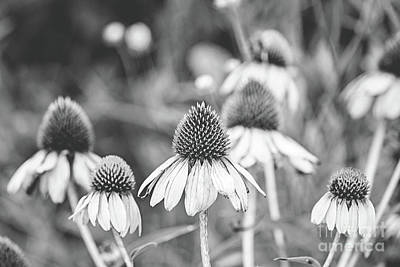 Cone Flower - Bw Poster