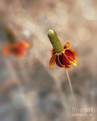 Mexican Hat Prairie Flower Poster