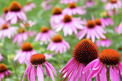 Coneflowers Poster by David Chandler