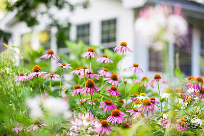 Coneflowers In Bloom In A Summer Backyard Garden Outside Of A Su Poster by Leslie Banks
